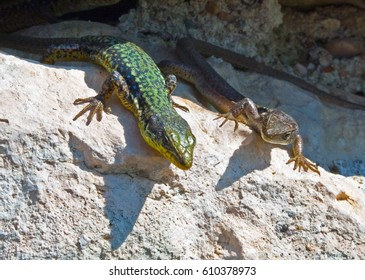 A lizards basks in the sun