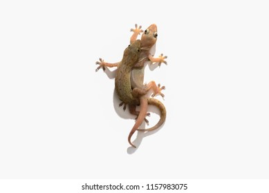 Lizards are breeding, Isolated on white background