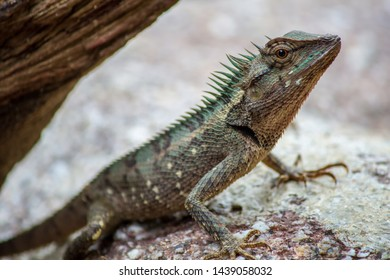 Lizards with rough skin on the rocks