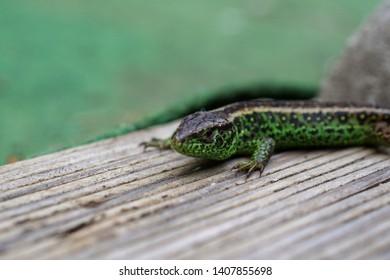 Lizzard Green Black Garden Friend