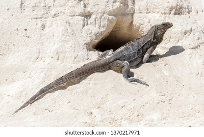 Lizzard Iguana Reptile