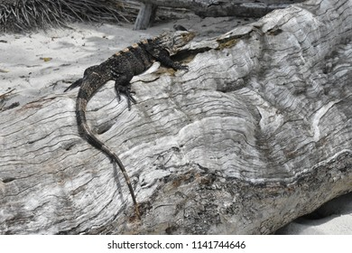 lizzard laying on the old tree
