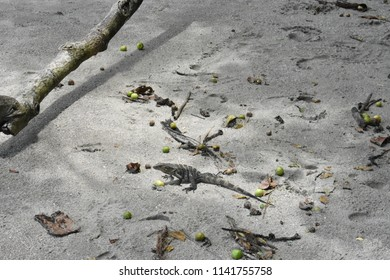 lizzard on the beach