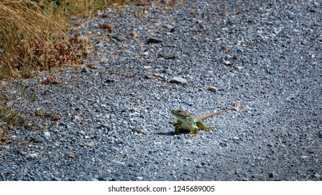 Lizzard on the road