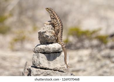 Lizzard on Rock. Exuma, Bahamas