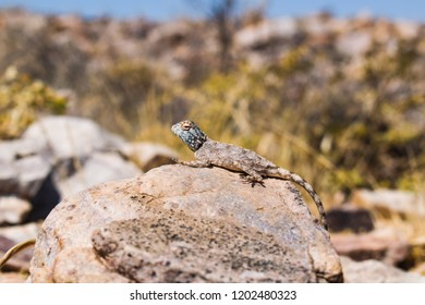 Lizzard on a rock, Namib Desert