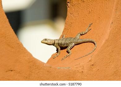 Lizzard on the wall. Margarita Island, Venezuela.