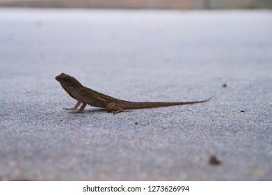 Lizzard standing still on concrete up close