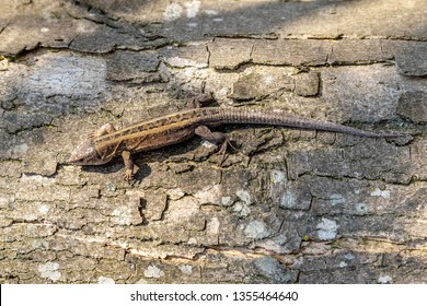 Lizzard warms up on an old wood.