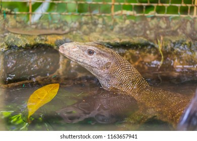 Lizzard in Water