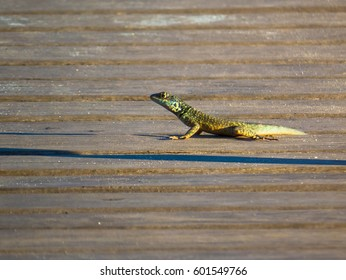 Lizzard at wood deck