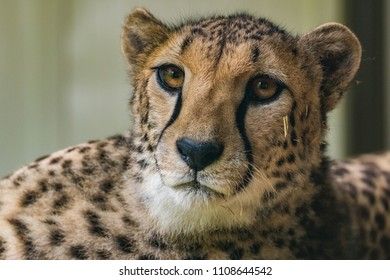 LJUBLJANA, SLOVENIA - MAY 20th 2018: Cheetah closeup, lying on a wooden table in Ljubljana ZOO
