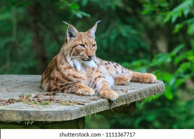 LJUBLJANA, SLOVENIA - MAY 20th 2018: Lynx lying on view platform on a tree in Ljubljana ZOO on a spring day.