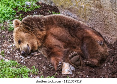 LJUBLJANA, SLOVENIA - MAY 20th 2018: Bear lying in the habitat in Ljubljana ZOO on a spring day.