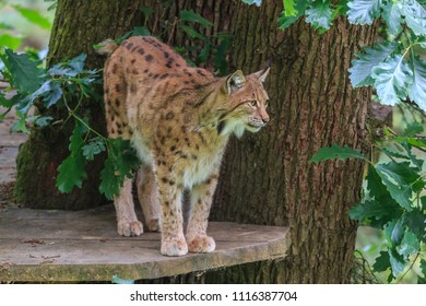 LJUBLJANA, SLOVENIA - MAY 20th 2018: Lynx female standing on view platform on a tree in Ljubljana ZOO on a spring day.