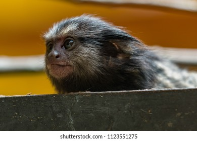 LJUBLJANA, SLOVENIA - May 20th 2018: Curious young marmoset monkey looking around from his wooden platform