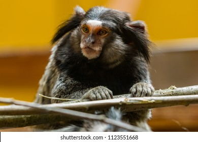 LJUBLJANA, SLOVENIA - May 20th 2018: Cute marmoset monkey female looking around from her wooden platform