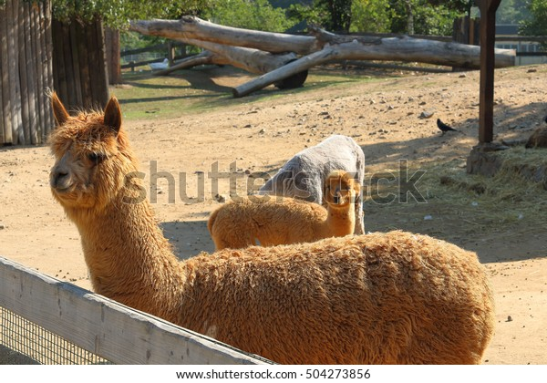 Llama alpaca (Vicugna pacos), focused of front (first) llama by the fence during the sunny day