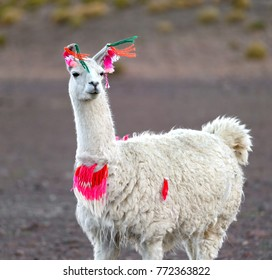 Llama in the Andes mountains of Bolivia