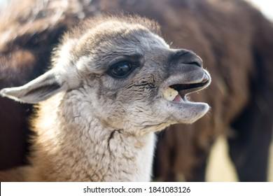 Llama baby eating something tasty