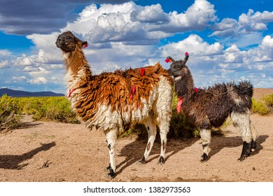 A Llama and its Baby (Lama glama) Llamas are High Altitude Domestic Camelids from The Andes in South America