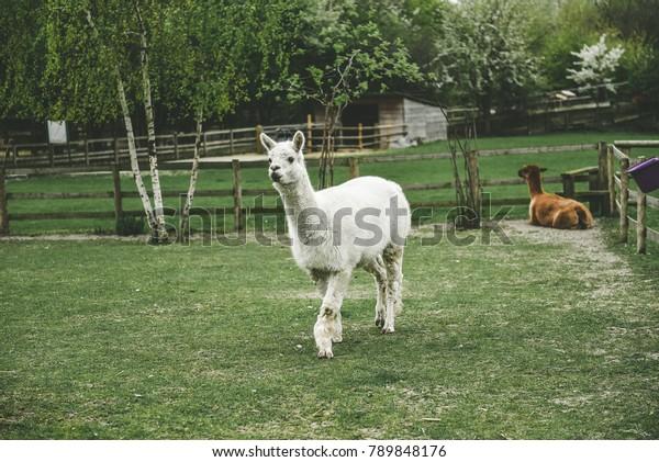 llama-beautiful-eyes-600w-789848176.jpg