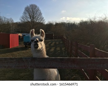 Llama with big teeth on farm near fence in winter.
