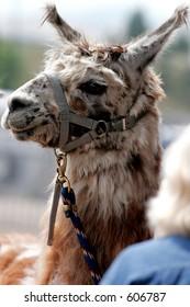 Llama at County Fair