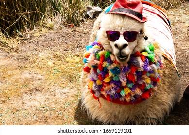 llama with dark shades in Peru, funny llama with clothes and hat, Cool llama, llama with costume. Cute llamas from Peru,beautiful llamas south america Peru.