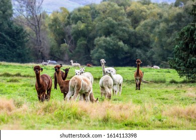 Llama is a domesticated small camel. White, gray and braun llamas graze on a green lawn. Animal breeding farm for wool and meat. The concept of exotic, ecological and photo tourism