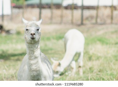 The llama is a domesticated South American camelid, widely used as a meat and pack animal by Andean cultures since the Pre-Columbian era.