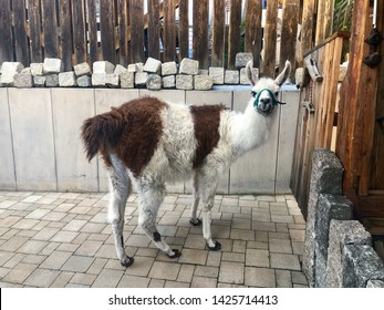 A Llama, a domesticated South American camelid from the Andes mountains, in its shed