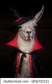 Llama dressed like Dracula for Halloween party