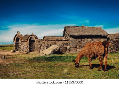 A llama eats grass in front of a house in the Andes of Puno, Peru