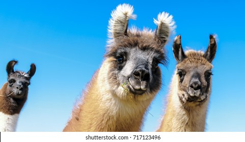 A llama family lives on a pasture in Deckenbach in Germany.