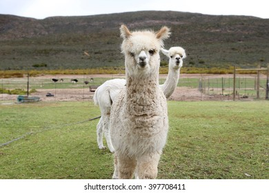 Llama in a field, staring at the camera, second llama hiding in the back. Some antelopes and ostriches can be seen in the background.