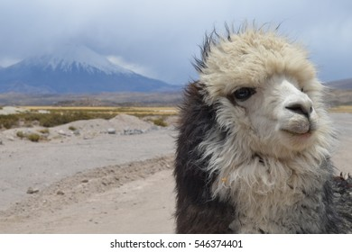 Llama grazing with view across to Parinacota Volcano in Lauca National Park, Northern Chile.