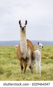 A llama and her baby in the Altiplano in Bolivia
