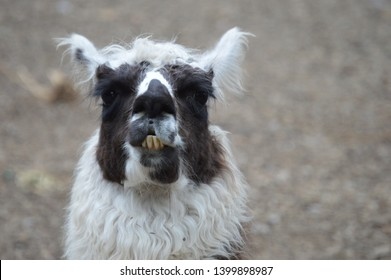 Llama with Huge Teeth in Sonoma County