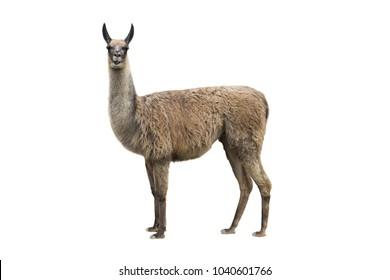 llama isolated on white background