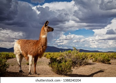 A Llama (Lama glama) at the Andes Mountains. At background Cloudy Sky. Llamas are Domesticated South American Camelids