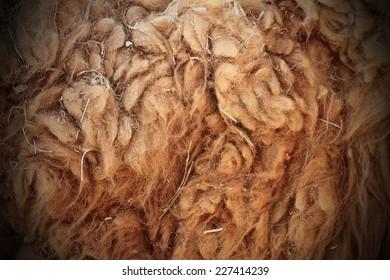 llama ( Lama glama ) dirty fur, closeup of curly real hair