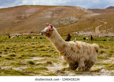 A Llama (Lama glama) a High Altitude Domestic Camelid from The Andes in South America