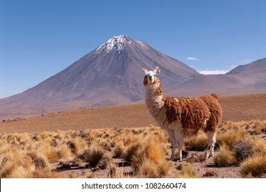 A Llama (Lama glama) and Licancabur Volcano in Bolivia - Chile Border