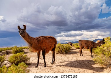 A Llama (Lama glama) Looking to Camera at the Andes Mountains. At background Cloudy Sky. Llamas are Domesticated South American Camelids
