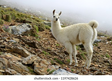 Llama (lama glama), mammal living in the South American Andes.