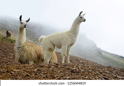 Llama (lama glama), mammal living in the South American Andes.