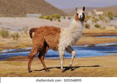 Llama (Lama glama) near the Laguna Colorada, Bolivia.