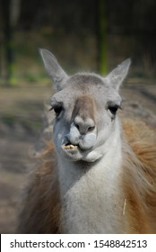 Llama (lama glama) showing teeth and jaw position whilst chewing food.