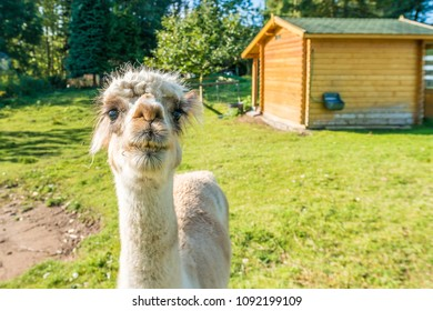 The llama (Lama glama), a South American camelid and domesticated and very social animal, widely used as a meat and pack animal by Andean cultures.